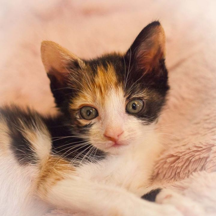 Brittany, an adopted Calico in Ponte Vedra, FL