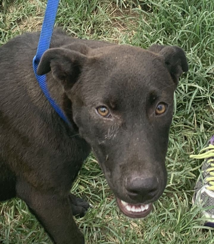 Howie, an adopted Labrador Retriever & Pointer Mix in Manchester, NH