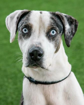 Minnion, an adoptable Catahoula Leopard Dog Mix in Loxahatchee, FL