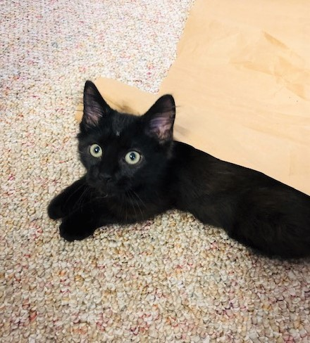 Ross, an adoptable Domestic Medium Hair in Boiling Springs, PA