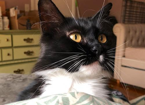 Duck, an adoptable Tuxedo & Domestic Medium Hair Mix in Springfield, OR