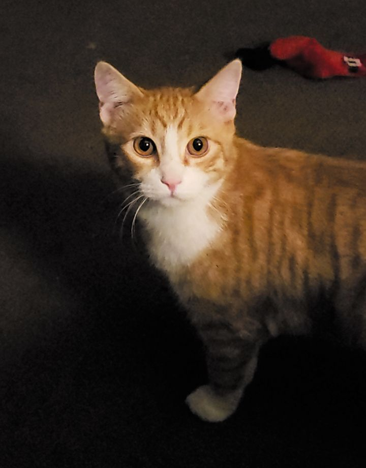 Marshall, an adoptable Domestic Short Hair in Boiling Springs, PA