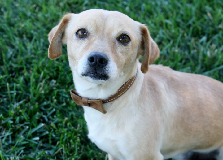 Liam - Gentle 16 lb. sweetheart!, an adopted Beagle & Parson Russell Terrier Mix in Long Beach, CA