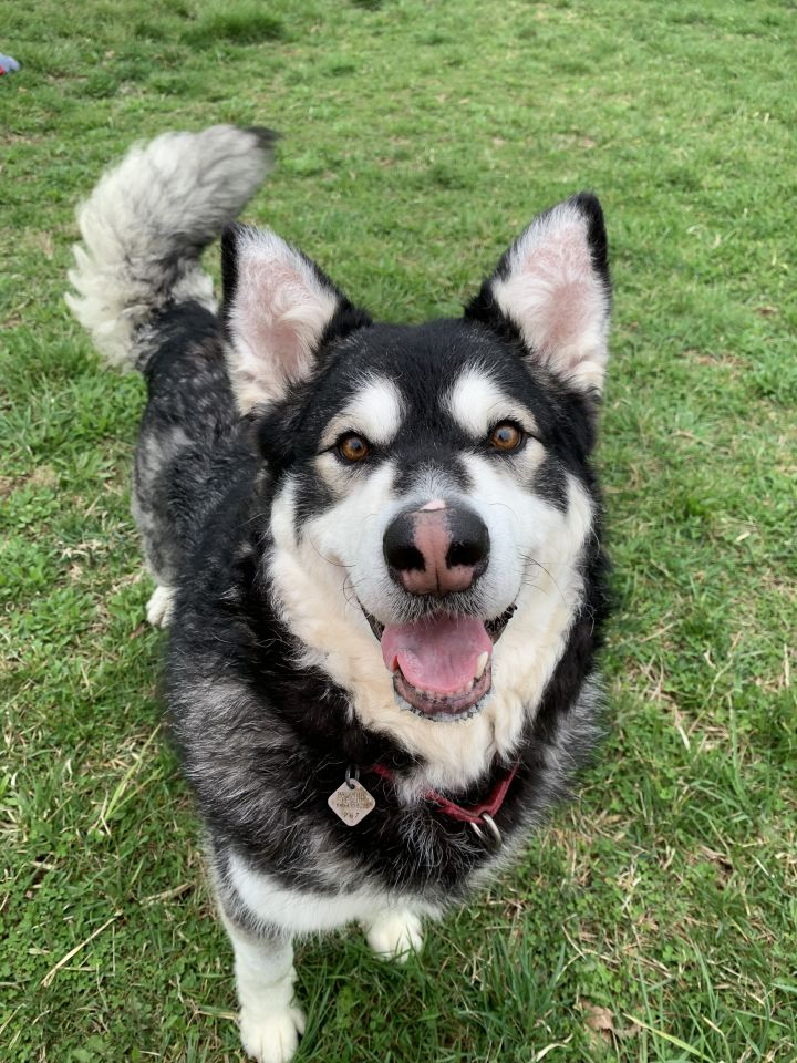 Winter Vale, an adoptable Alaskan Malamute in Gettysburg, PA