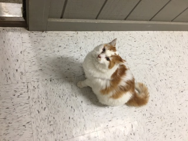 Buttercup, an adopted Domestic Medium Hair in Leitchfield, KY
