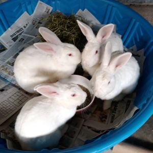 5 adorable sweet rescued albino New Zealand solid white rabbits 4 males neutered 1 female spayed