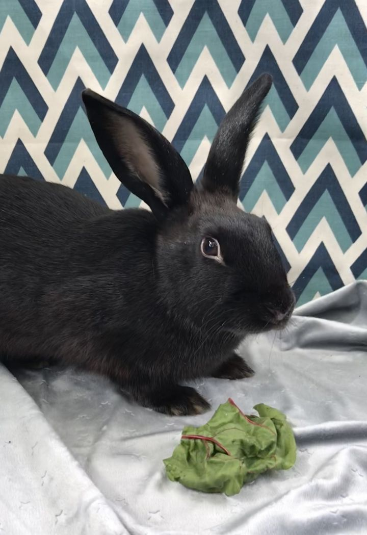 Jellybean, an adoptable Bunny Rabbit in Livermore, CA