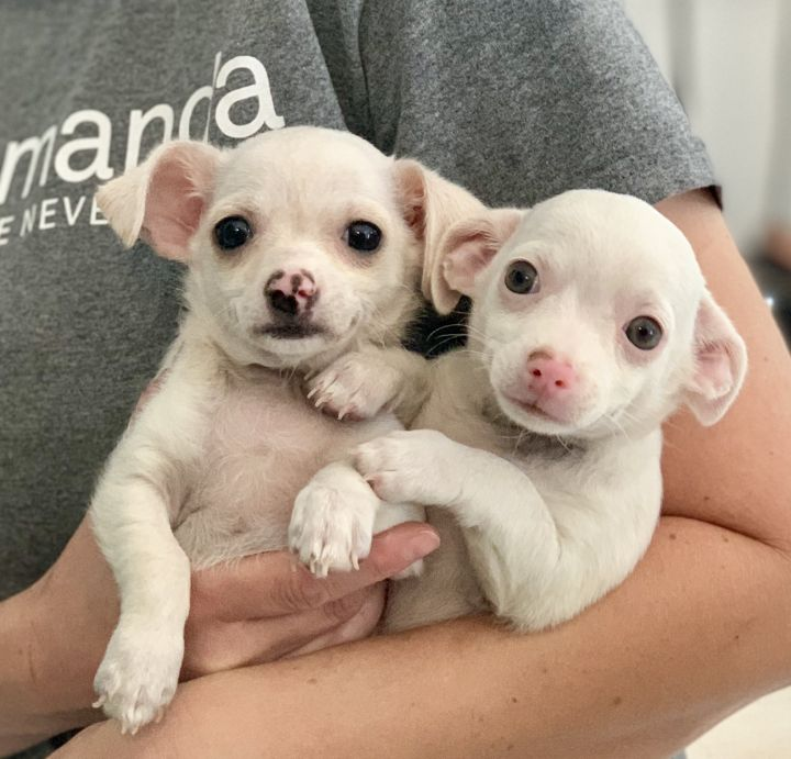 Nemo and Natalie, an adoptable Chihuahua & Terrier Mix in Beverly Hills, CA