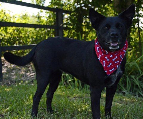 Bryn, an adoptable Australian Cattle Dog / Blue Heeler & Labrador Retriever Mix in Carencro, LA