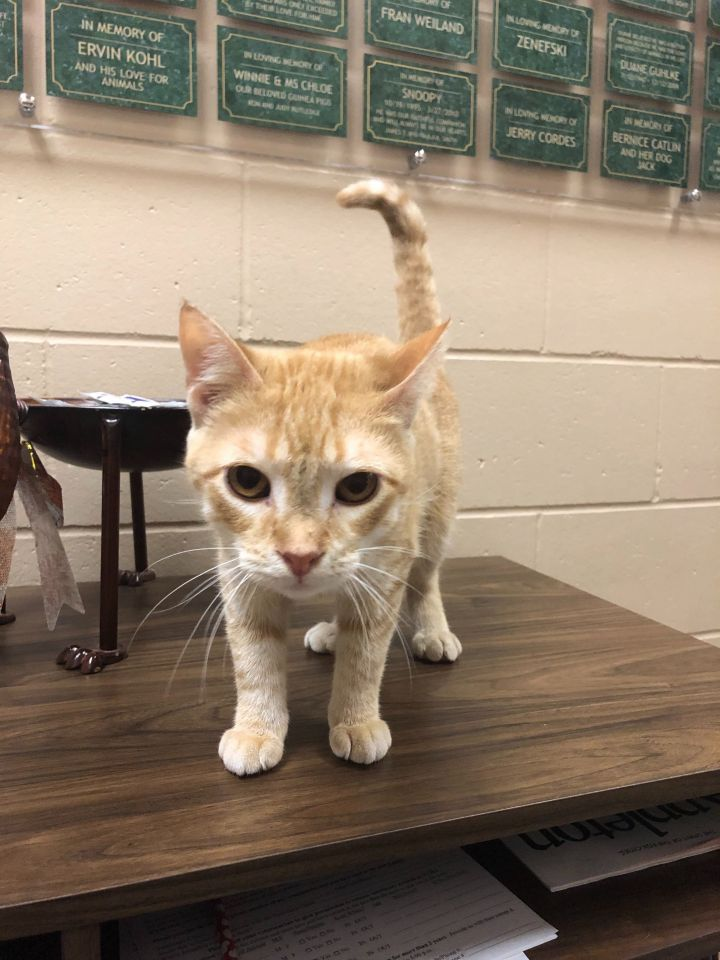 Cayenne, an adoptable Domestic Short Hair Mix in Appleton, WI