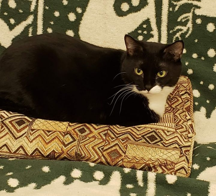 Cassidy, an adoptable Domestic Short Hair & Tuxedo Mix in New Rochelle, NY