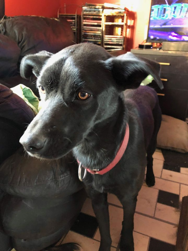 Selena, an adopted Labrador Retriever & Terrier Mix in Fort Smith, NT