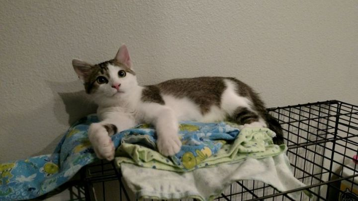Viper, an adopted Domestic Short Hair Mix in Spanish Fork, UT