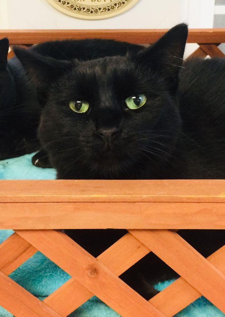 Cruella, an adoptable Domestic Short Hair in Walden, NY