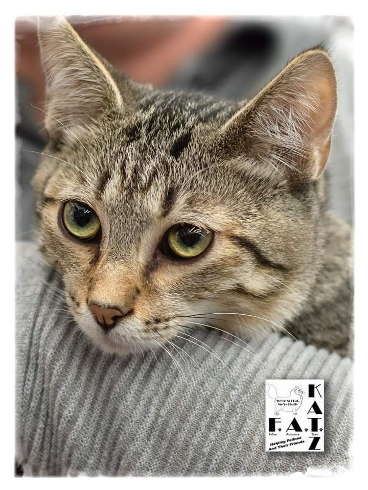Joey, an adoptable Domestic Short Hair & Tabby Mix in Albuquerque, NM