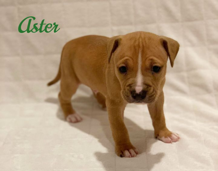 Aster, an adoptable Pit Bull Terrier & Hound Mix in Parsippany, NJ