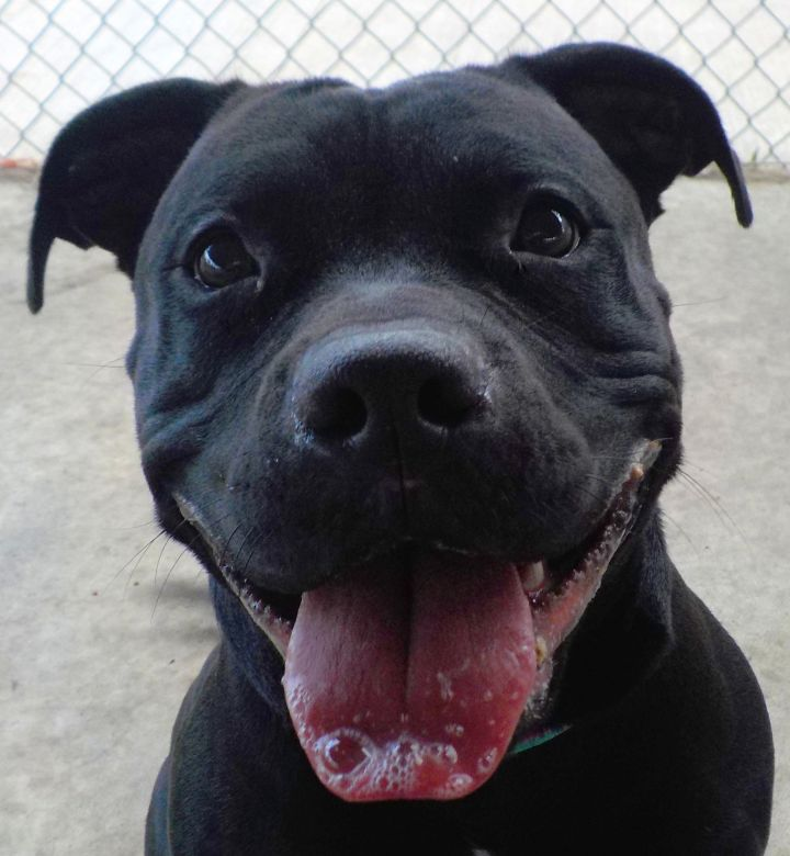 Summer A2/ ADOPTED, an adopted Pit Bull Terrier Mix in Canton, OH