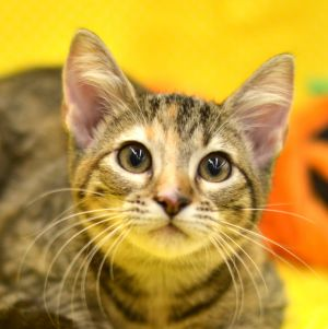 Tinsley is a 9 month old Torbie kitten She has an outgoing playful personality She likes to be he