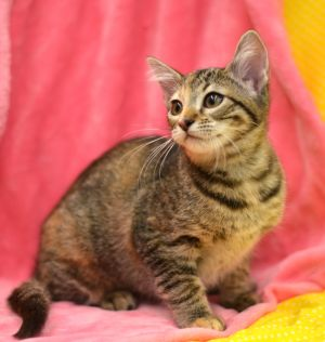 Tinsley - 1960 Petsmart Torbie Cat