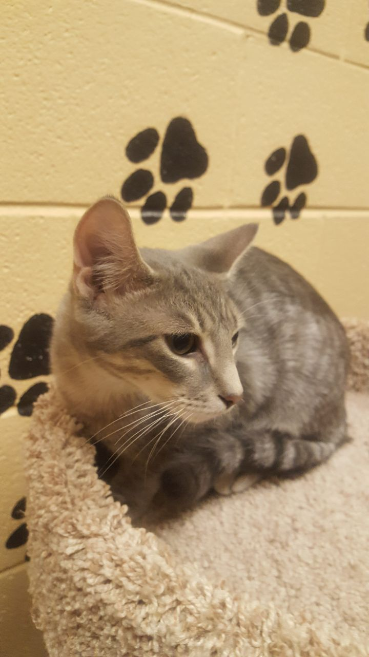 Javlin, an adoptable Domestic Short Hair in Smithfield, NC
