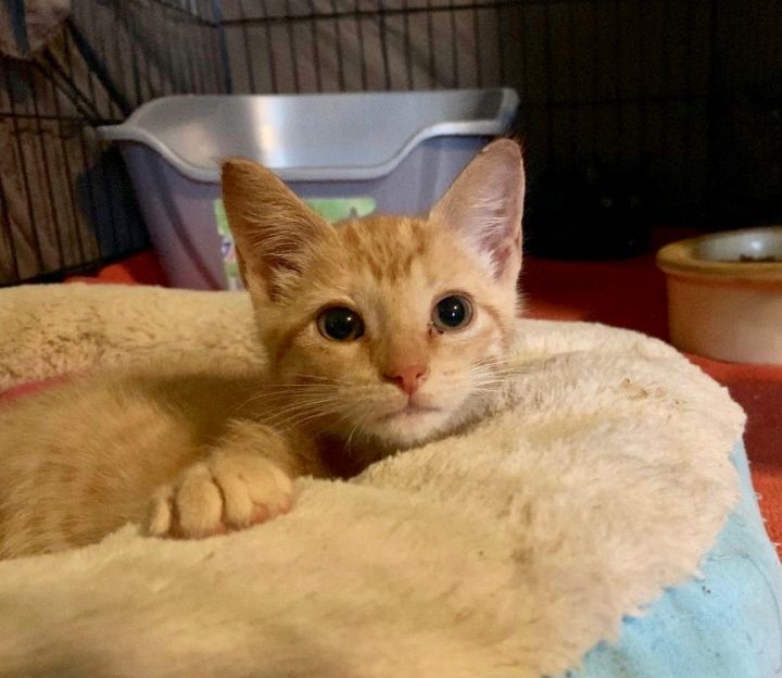 Jester, an adoptable Domestic Short Hair & Tabby Mix in Colmar, PA