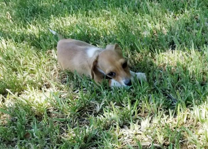 Rachel, an adopted Dachshund & Chihuahua Mix in Temple, TX