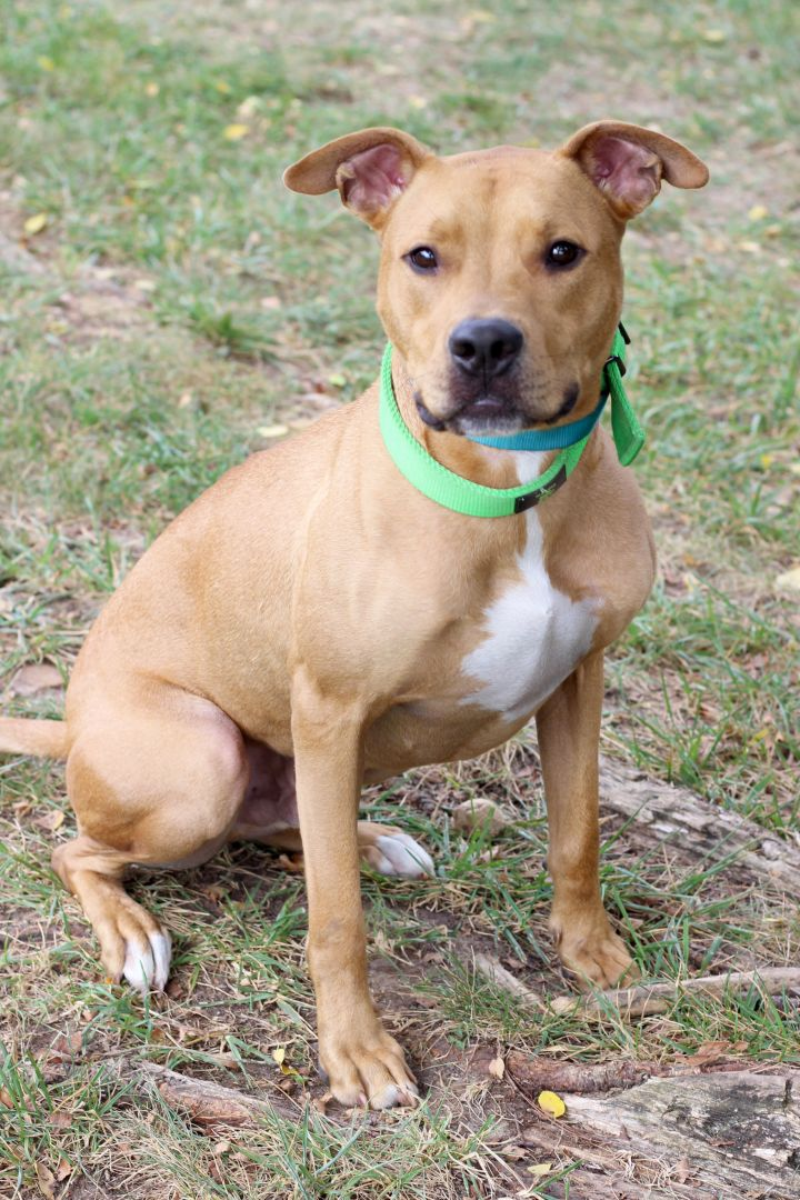 Dog For Adoption Zeus A Pit Bull Terrier Boxer Mix In