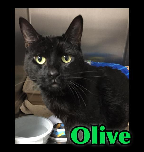 Olive, an adoptable Domestic Short Hair in Salt Lake City, UT_image-1