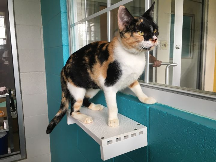 Millie, an adopted Domestic Short Hair Mix in Carencro, LA