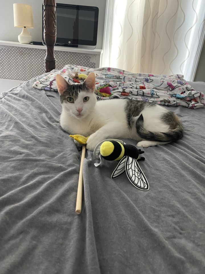 Miro, an adoptable Calico in South Ozone Park, NY