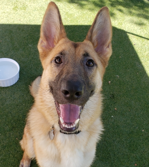 Ziggy, an adoptable German Shepherd Dog Mix in Beverly Hills, CA