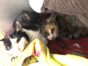 Meet a very special Goldie and Emma Goldie the light-colored tabby kitty is a special needs kitt