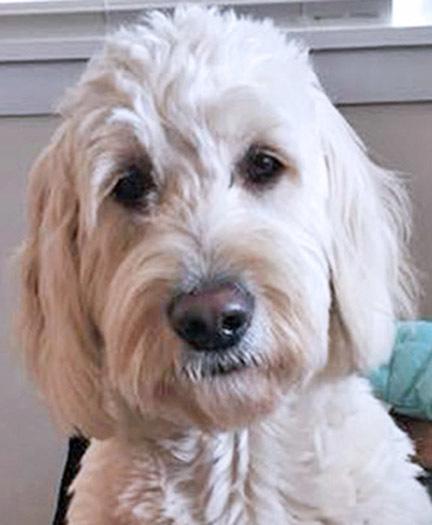 Dog For Adoption Tn Belle A Standard Poodle Golden