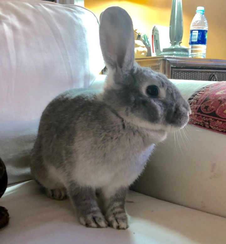 Trudy, an adoptable Chinchilla in New York, NY
