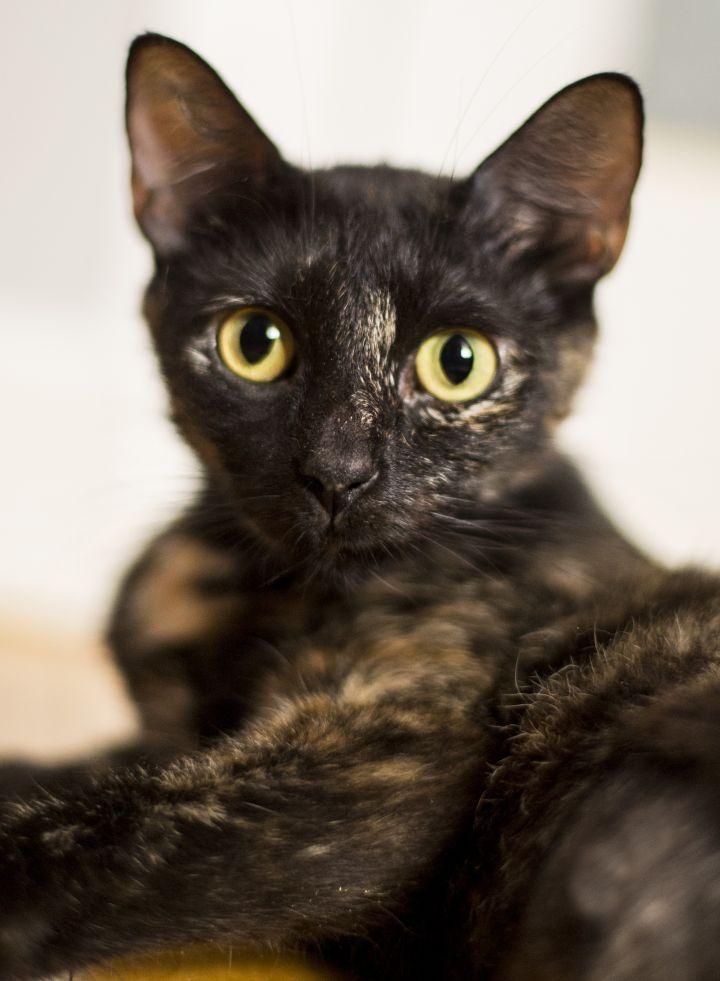 Cat For Adoption Angella A Tortoiseshell In Chicago Il Petfinder