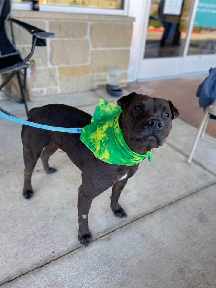 Sunny, an adopted Shar-Pei Mix in Temple, TX