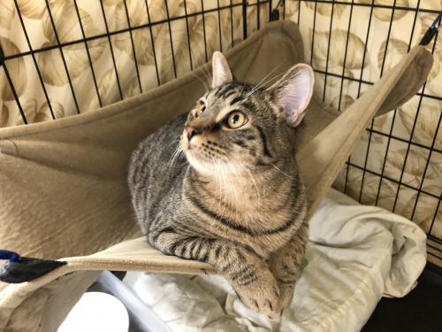 Squire, an adoptable Domestic Short Hair & Tabby Mix in Monroe, MI