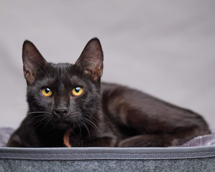 Jet, an adopted Bombay & Domestic Short Hair Mix in Long Beach, CA