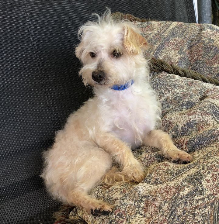 Kirby, an adopted Maltese & Poodle Mix in Houston, TX