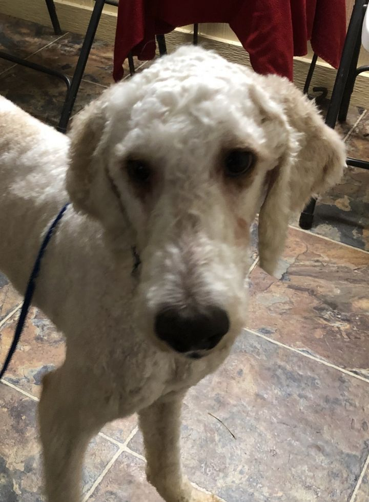 Zeek, an adoptable Poodle in Houston, TX