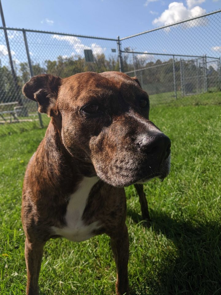 Snooki, an adoptable Pit Bull Terrier Mix in Appleton, WI