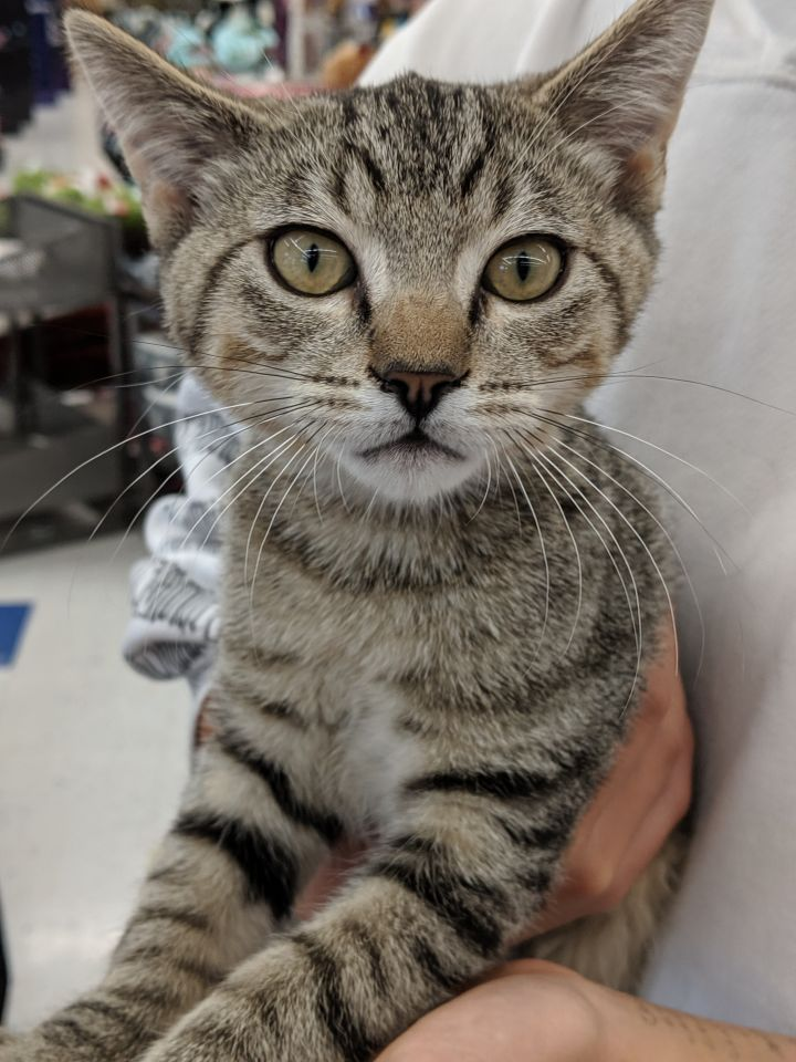 Scooter, an adopted Domestic Short Hair in Fountain Valley, CA