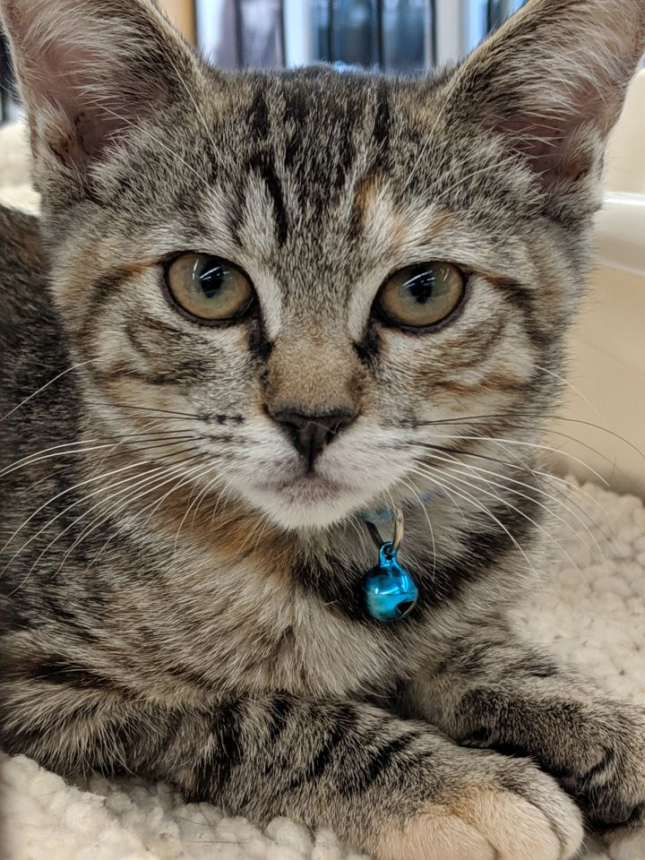 Sangria, an adoptable Domestic Short Hair in Fountain Valley, CA