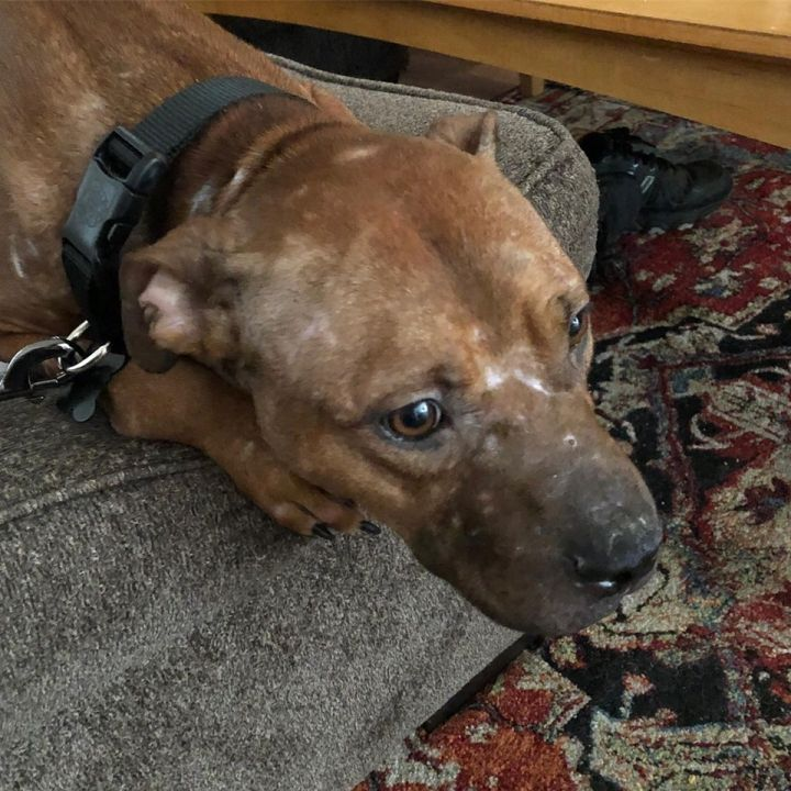 Bambi, an adopted American Staffordshire Terrier in Trenton, NJ