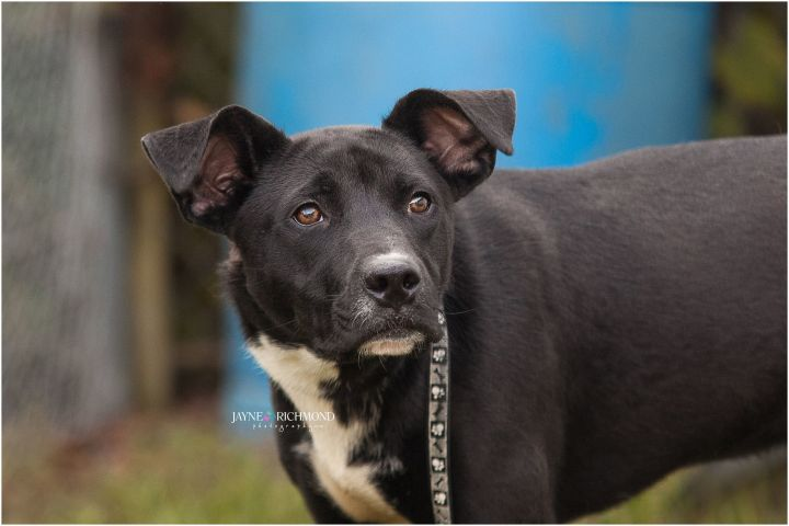 DEXTER, an adopted Shepherd & Border Collie Mix in Reed City, MI