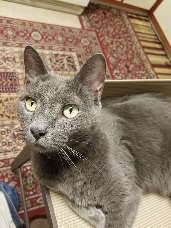 Bella, an adoptable Russian Blue in Closter, NJ