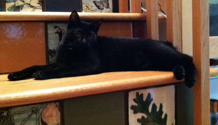 Ari Gato, an adopted Domestic Short Hair in Stanford, CA