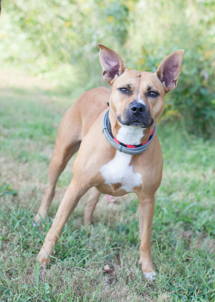Camella, an adoptable Pit Bull Terrier Mix in Cape Girardeau, MO