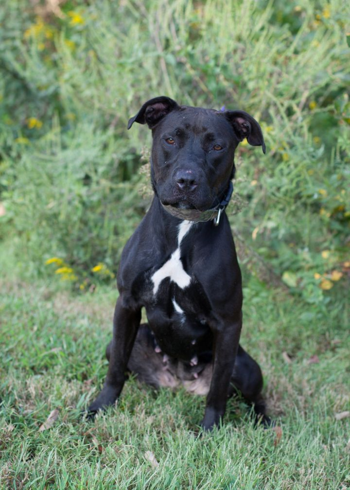 Morticia, an adoptable Pit Bull Terrier Mix in Cape Girardeau, MO