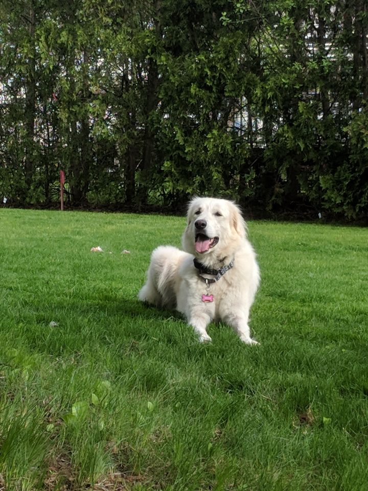 Sasha, an adoptable Great Pyrenees Mix in Palmer, MA